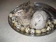 Домашние перепелинные яички