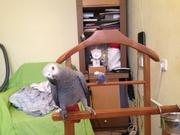 Африканский Серый попугай или краснохвостый Жако - Птицы
