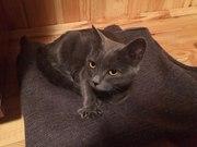 Найдена русская голубая кошка